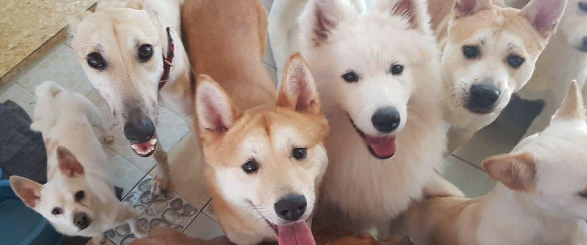 About Us – Jindo Love Rescue